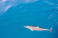 Bottlenose dolphin in the Bismarck Sea, PAPUA NEW GUINEA . Photo: Joli