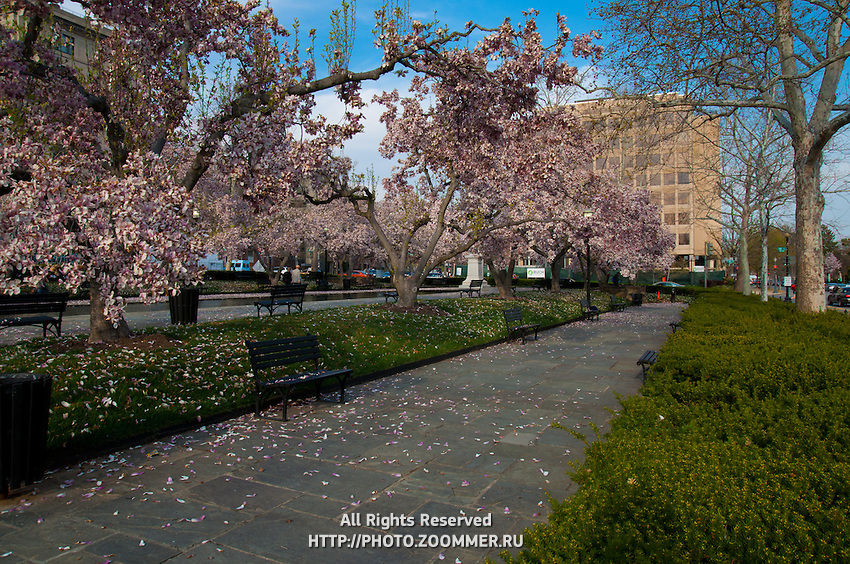 Rawlins Park in Washington DC with cherry blossoms