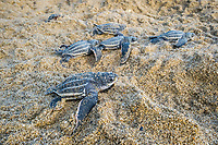 leatherback sea turtle, Dermochelys coriacea, hatchlings, emerging from their nest on the sandy beach at sunrise, making their way into the ocean, Grand Riviere, Trinidad, Trinidad and Tobago, Caribbean Sea, Atlantic Ocean