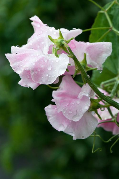 Sweet pea 'Kentish Maiden', mid June.