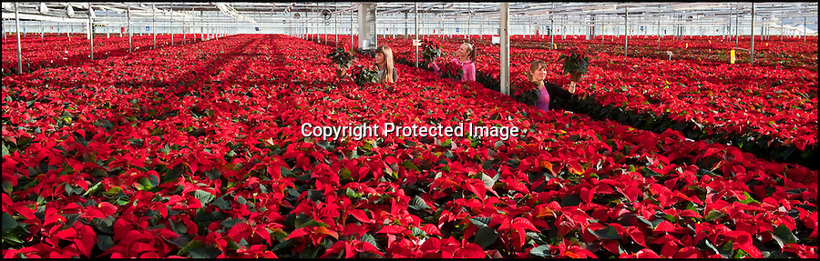 BNPS.co.uk (01202 558833)<br /> Pic: PhilYeomans/BNPS<br /> <br /> Simply Red - The festive season must be on the way as the first of over 150,000 Xmas Poinsettias start leaving the Double H nursery near New Milton in Hampshire today.<br /> <br /> Staff at the nursery have carefully tended the bright red blooms over the last two months in preperation for the Xmas rush.Horticulturist Magda Odzimkowska(26), Karina ivanova(23) and Anna Korczynska(24) checks over 'Infinity' and 'Prima' varieties that have been grown at a constant 18oC from cuttings brought in in July.Double H grow over 500,000 Poinsettias for British Supermarkets during the festive season.