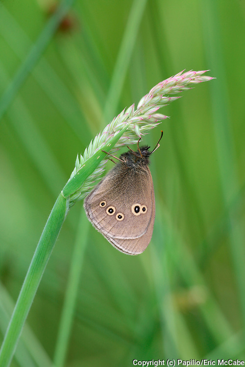 Ringlet butterfly, Aphantopus hyperantus  in Perthshire<br /> nature<br /> wildlife<br /> british<br /> britain<br /> Scotland<br /> insect<br /> butterfly<br /> lepidoptera<br /> Aphantopus hyperantus<br /> Aphantopus<br /> UK<br /> brown<br /> satyridae