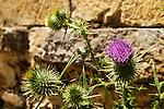 Asteraceae - Korbblütler