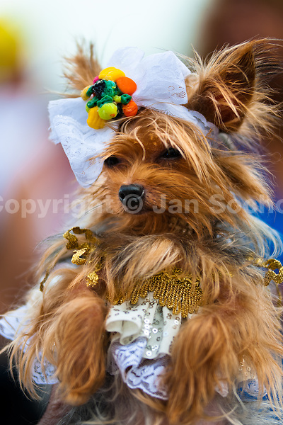 A Yorkshire Terrier dog, dressed as a princess, takes part in the Blocao pet carnival parade at Copacabana beach in Rio de Janeiro, Brazil, 12 February 2012.