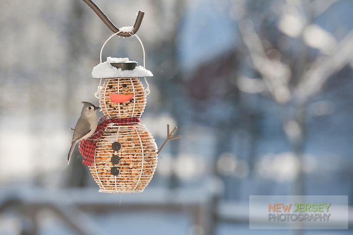 Tufted Titmouse, at a snowman feeder, New Jersey