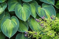 Geranium and Hosta with water drops, Washington