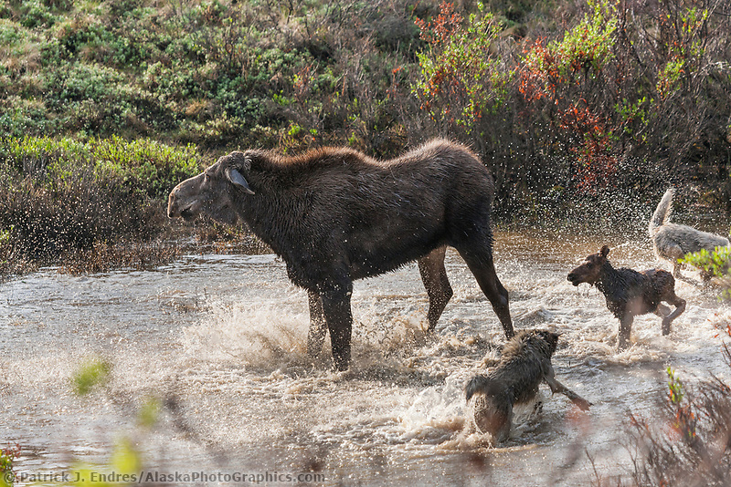 Cow moose defends her newly born calf from the Grant Creek wolf pack in Denali National Park. In the end, the wolves got the baby moose.