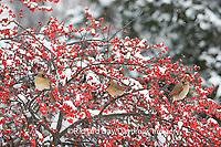 01530-177.01 Northern Cardinals (Cardinalis cardinalis) females in Common Winterberry (Ilex verticillata) in snowstorm, Marion Co. IL