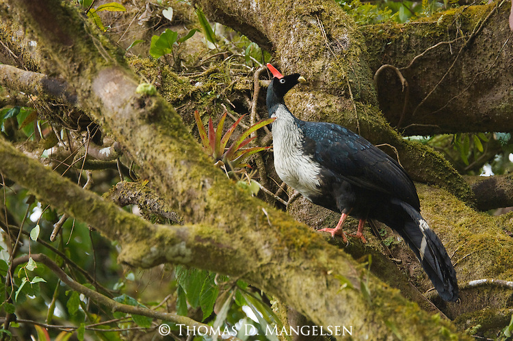 Portrait of a horned guan perched in a tree in the Biosphere Reserve El Triunfo of the Sierra Madre range of Chiapas, Mexico.