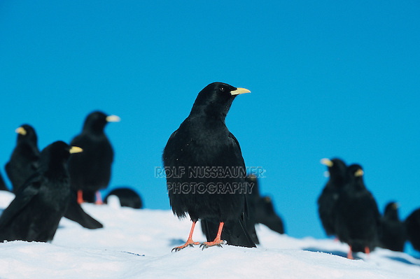 Alpine Chough (Pyrrhocorax graculus), flock on snow, Pilatus, Switzerland