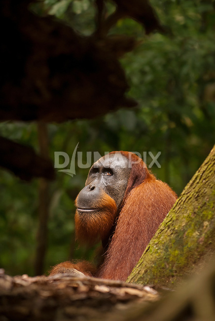 A male Sumatran orangutan, framed in forest dead fall, looks up towards the light.