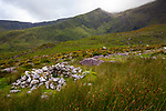 Clochan - ruins of a stone hut, Hiking in Abha Mhor valley, Cloghane, Kerry, Ireland