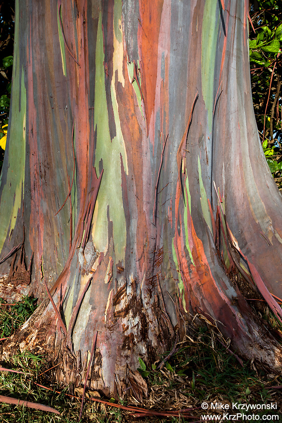 Close-up of a rainbow eucalyptus tree bark, Dole Plantation Center, Wahiawa, Oahu