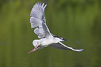 Black-crowned Night Heron - Nycticorax nycticorax - Adult in flight
