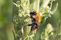 Ackerhummel, Acker-Hummel, Hummel, Weibchen, an Königskerze, Verbascum, Bombus pascuorum, Bombus agrorum, Megabombus pascuorum floralis, common carder bee, carder bee, female, le bourdon des champs