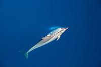 spinner dolphin, Stenella longirostris, spouting, blowing, Ha'apai, Tonga, Pacific Ocean