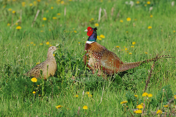 Ring-necked Pheasant (Phasianus colchicus),pair, National Park Lake Neusiedl, Burgenland, Austria