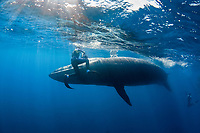 Bryde's whale, Balaenoptera brydei or Balaenoptera edeni, narrowly misses photographer Brandon Cole after making a sudden turn to avoid hitting a marlin feeding on a baitball of sardines, off Cabo San Lucas, Baja California, Mexico ( Eastern Pacific Ocean ) #5 in sequence of 9
