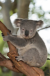 Sydney, New South Wales, Australia; a Koala in a tree