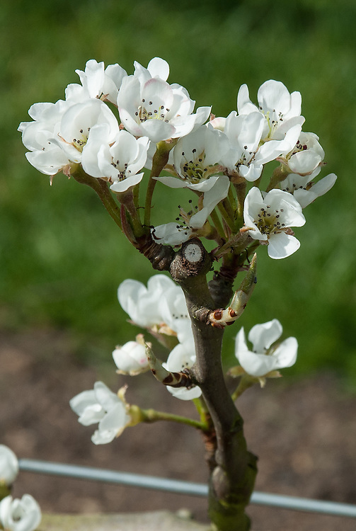Blossom of 'Conference' pear, early April. Named after the RHS National Pear Conference, Chiswick, 1885.