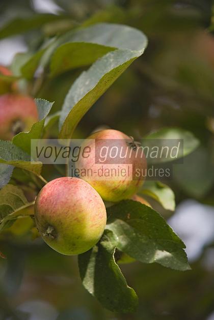 Europe/France/Normandie/Basse-Normandie/14/Calvados/Pays d'Auge/Cambremer: pommes à cidre
