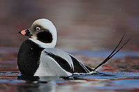 Long-tailed duck or Old-squaw, male, Clangula hyemalis, Båtsfjord village harbour, Varanger Peninsula, Norway, Scandinavia
