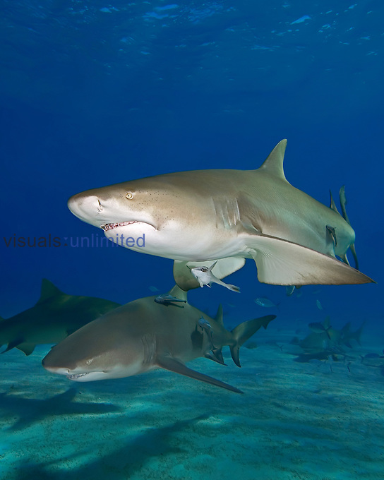 Lemon Sharks (Negaprion brevirostris) and Sharksuckers or Remoras  (Echeneis naucrates), West End, Grand Bahama, Atlantic Ocean.