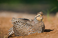 509250062 a wild female northern bobwhite colinus virginianus scratches and rustles the ground for feed in the lower rio grande valley of south texas