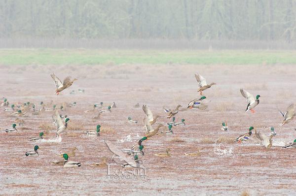 Ducks--mostly mallards--on pond.  Winter. Pacific Northwest.