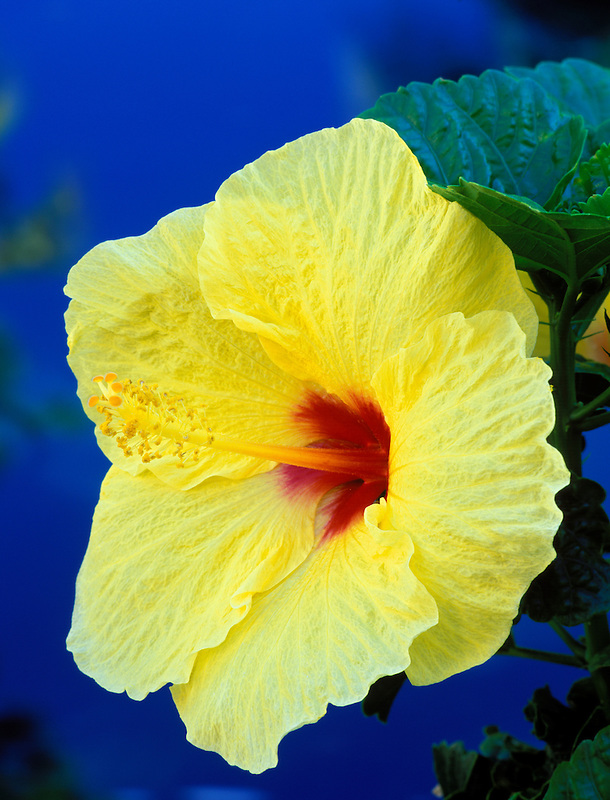 Yellow hibiscus flower. Maui, Hawaii