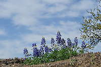 Bluebonnet Flowers, Lllano, Texas