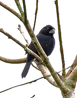 Male blue-black grosbeak