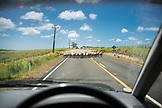 NEW ZEALAND, Northland, Sheep Traffic Jam in Northland, Ben M Thomas
