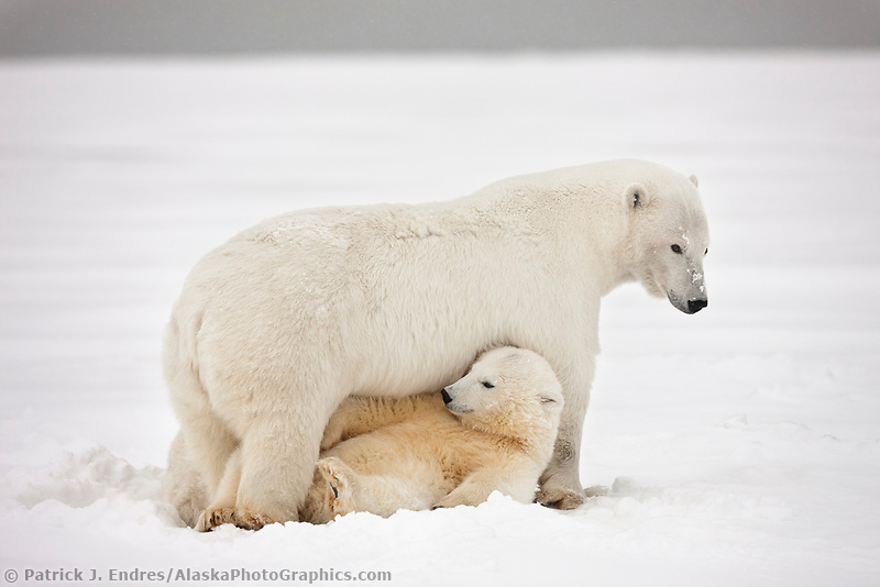 Polar bear cub hides under moms belly, arctic Alaska.