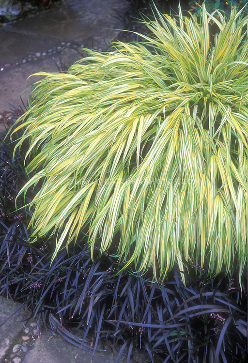 Hakonechloa macra 39 aureola 39 ophiopogon plant flower for Ornamental grass with yellow flowers