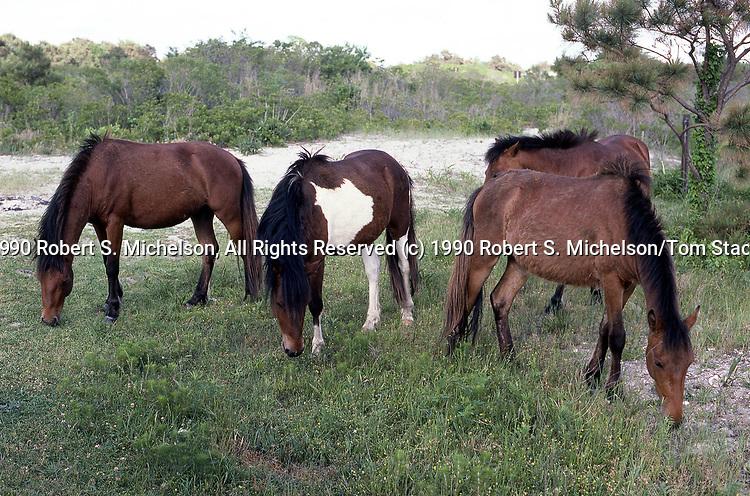 Chincoteague Pony 4 shot grazing on Assateague National Seashore, Maryland