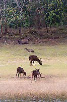 20080131_Periyar, India_ Sambar deer graze the shores of the Periyar Lake, which is located in the Periyar Wildlife Sancuary in the Southern Indian state of Kerala.  Photographer: Daniel J. Groshong/Tayo Photo Group