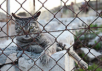 Stock image of a Cypriot cat gazing keenly through an iron wire fence.