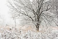 Snow covered prairie landscape with tree during snow storm...The Minnesota Landscape Arboretum is a 1,137-acre horticultural garden and arboretum located about 4 miles west of Chanhassen, Minnesota. It is part of the Department of Horticultural Science in the College of Food, Agricultural and Natural Resource Sciences at the University of Minnesota.