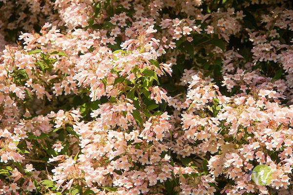 Harkness Memorial State Park. Flowering shrub. Weigela