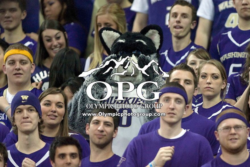 Feb 4, 2012:  Washington mascot Harry was in the stands with fans cheering the Huskies on against USC.  Washington defeated USC 69-41 at Alaska Airlines Arena Seattle, Washington...