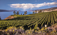 Fine Art Landscape Photograph. Vineyards in the Okanagan valley British Columbia, Canada. Rows of vineyards overlooking the mountains and Lake Okanagan in Naramata.