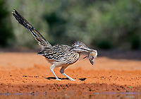 greater roadrunner, Geococcyx californianus, with a prey mouse, Mus sp., Texas, USA