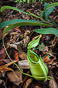 Pitcher Plant {Nepenthes tentaculata} with ground pitcher. Montane mossy heath forest or 'kerangas' on the southern plateau of Maliau Basin, Sabah's 'Lost World', Borneo. Pitcher plants are carniverous, trapping invertebrate prey in their liquid-filled pitfall traps.