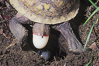 Eastern Box Turtle (Terrapene carolina carolina), female laying eggs, Raleigh, Wake County, North Carolina, USA