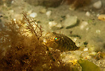 A juvenile Northern Puffer fish reflects a spectrum of light from its eyes in a quiet cove in Narraganset Bay, Rhode Island.