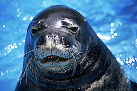 Hawaiian monk seals [Monachus schauinslandi] (endemic and endangered) are generally shy and keep to themselves. The majority of the population are found in the uninhabited atolls in the Northwestern extreme of the State of Hawaii.