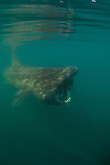 Basking shark feeding in a plankton bloom