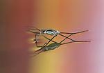 Pondskater or Water Strider with prey
