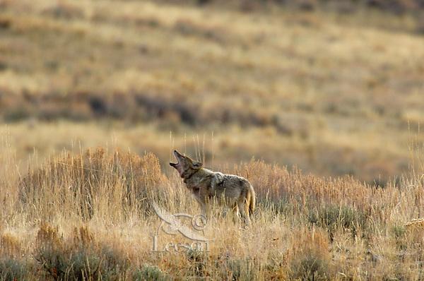 Coyote (Canis latrans) howling sagebrush.  Western U.S., fall.